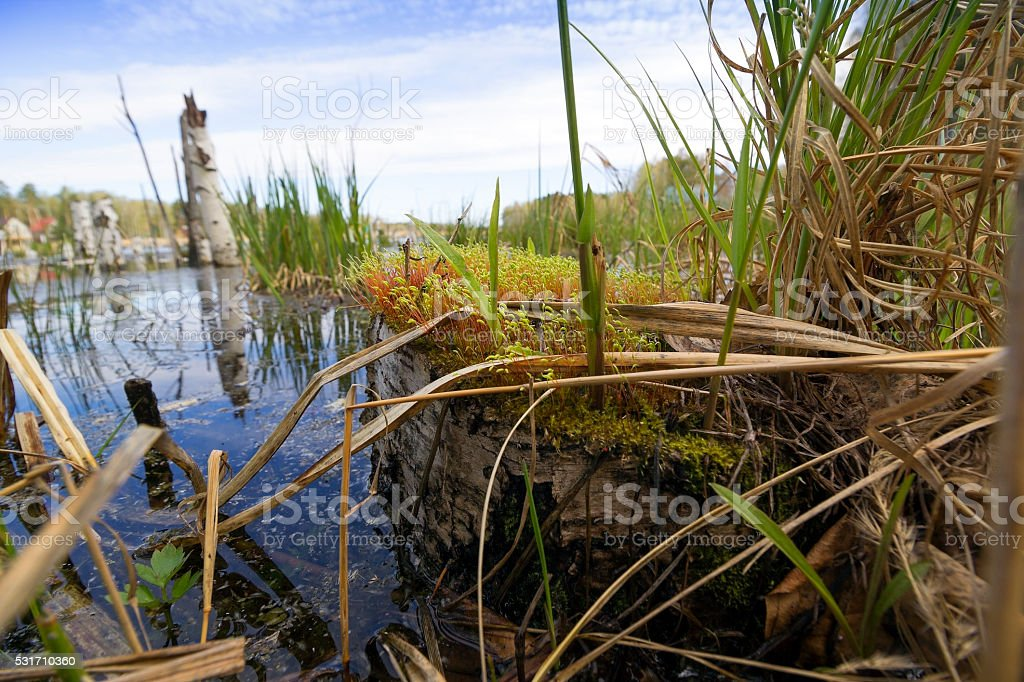 Grass in the swamp stock photo