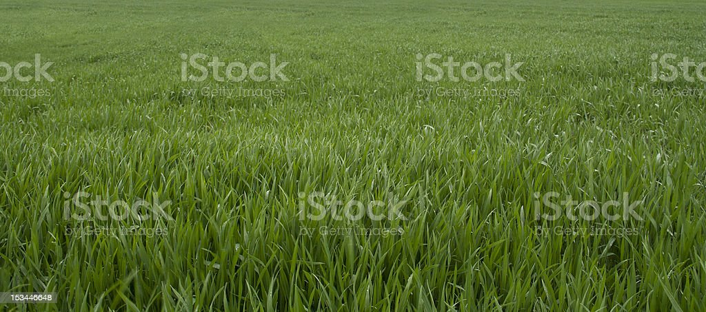 Grass is Greener royalty-free stock photo