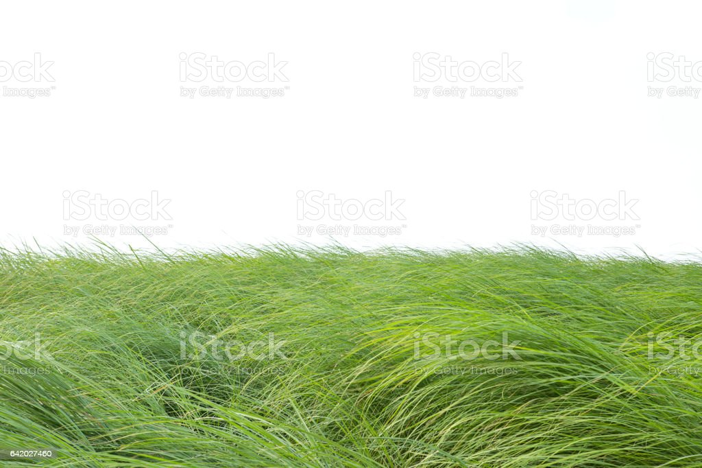 Grass isolated on white background. stock photo
