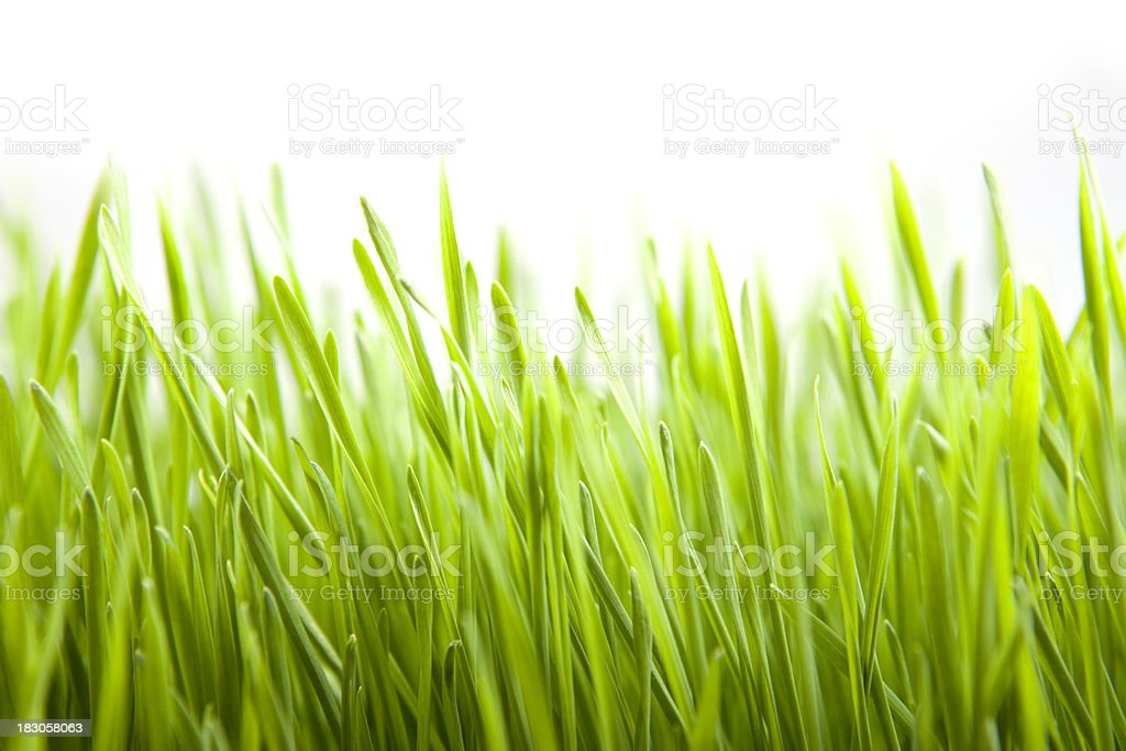 Grass Isolated On White royalty-free stock photo