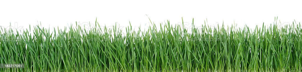 Grass Isolated on White stock photo