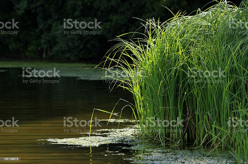 Grass lake reed royalty-free stock photo
