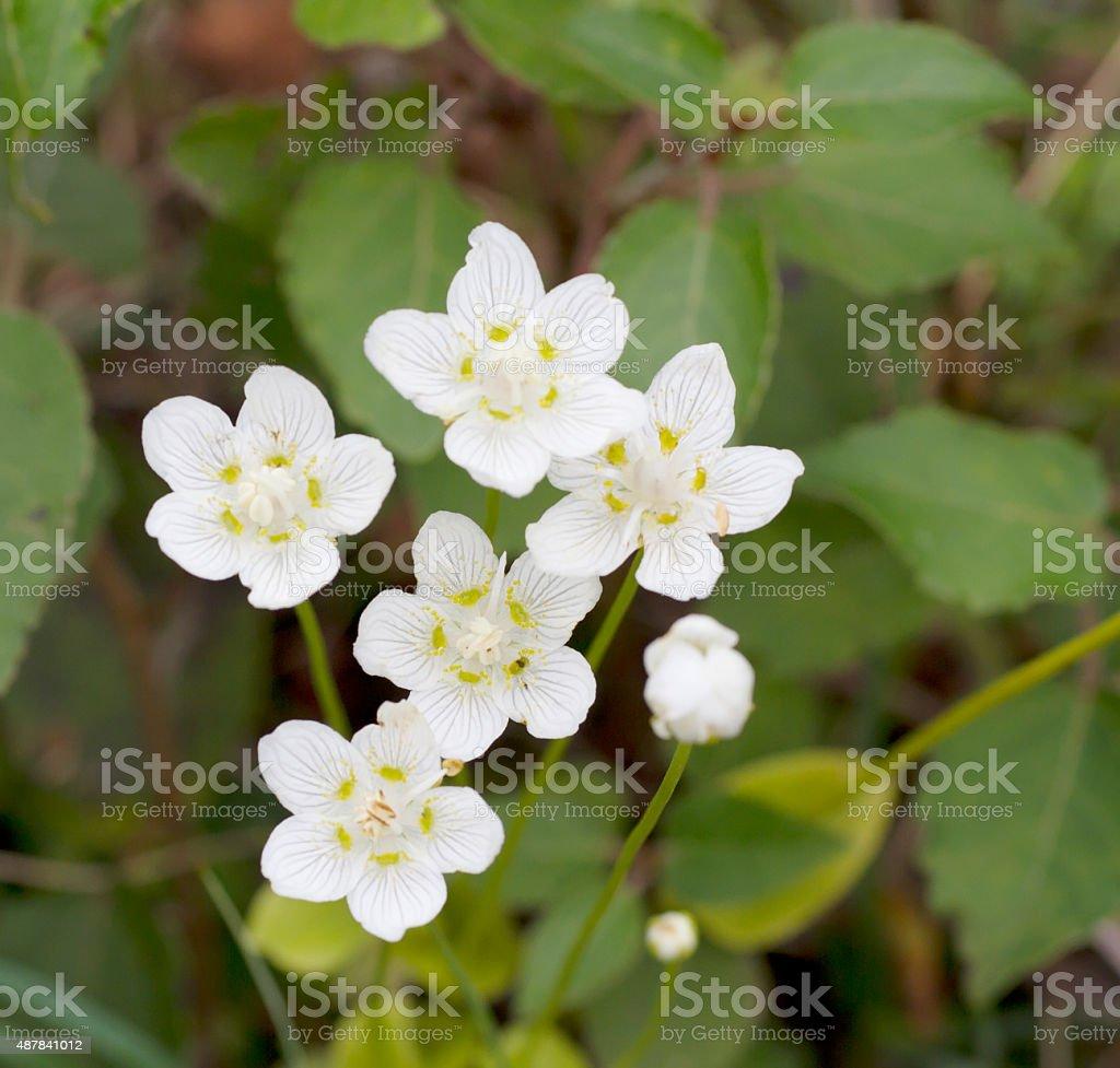 Grass of Parnassus (Parnassia palustris) stock photo