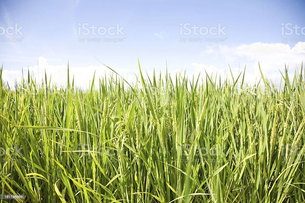 Grass on sky background royalty-free stock photo