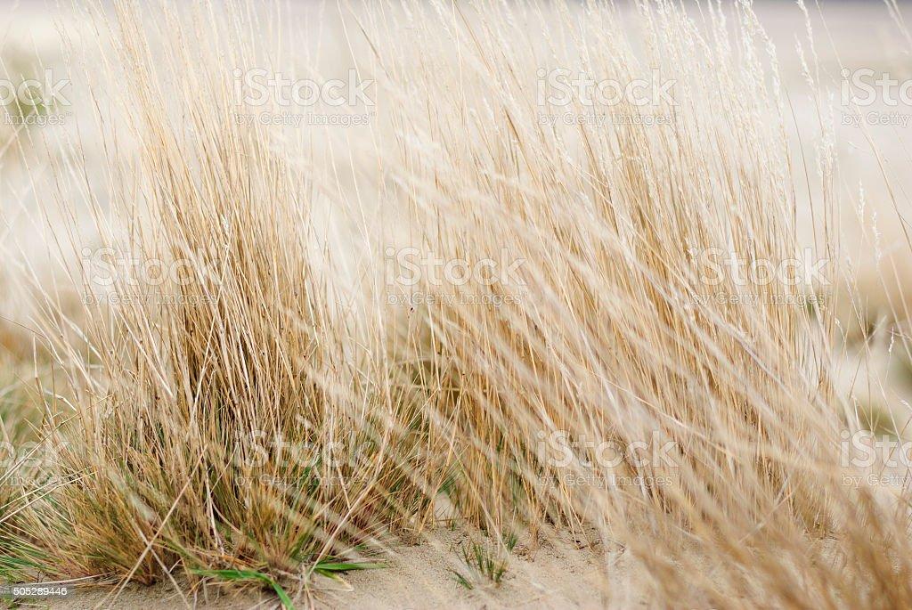 草の砂漠 błędowskaでポーランド ロイヤリティフリーストックフォト