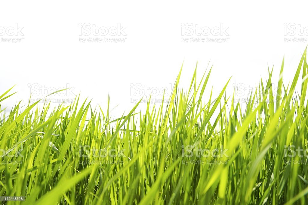 Grass on White stock photo