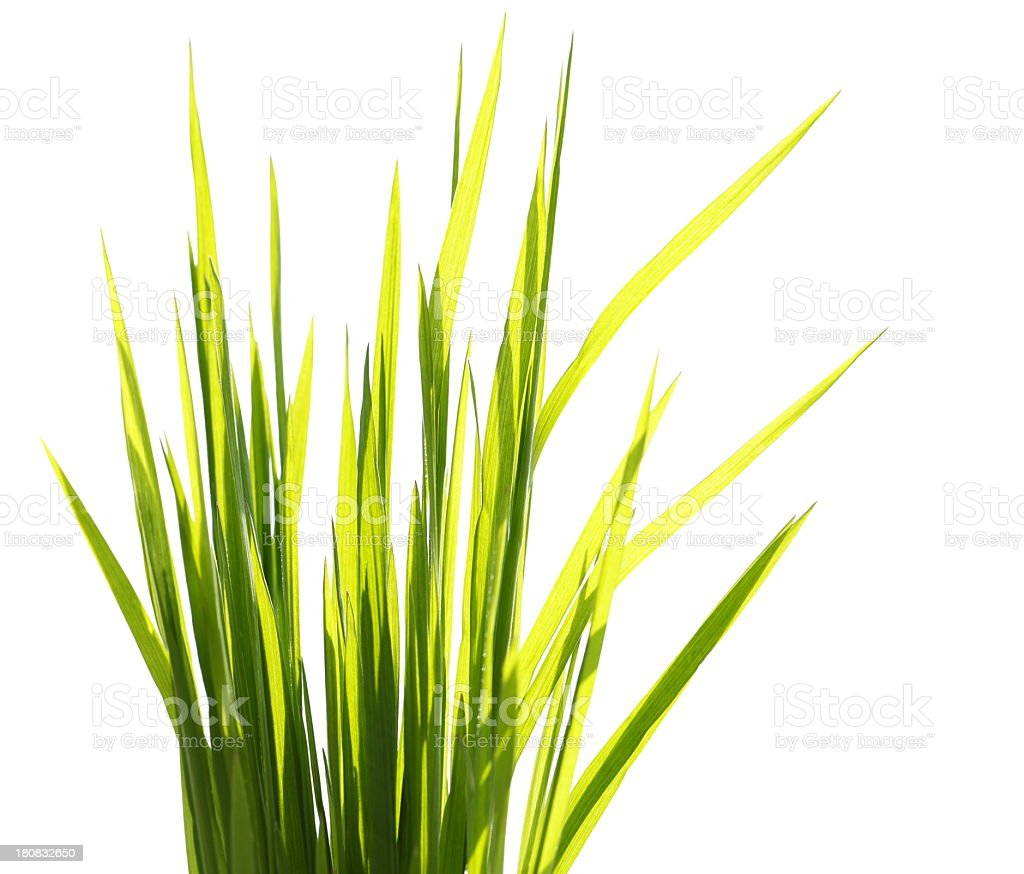 Grass on White royalty-free stock photo