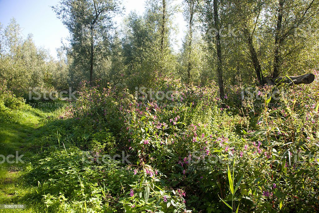 Grass path bordered by Himalayan Balsam stock photo