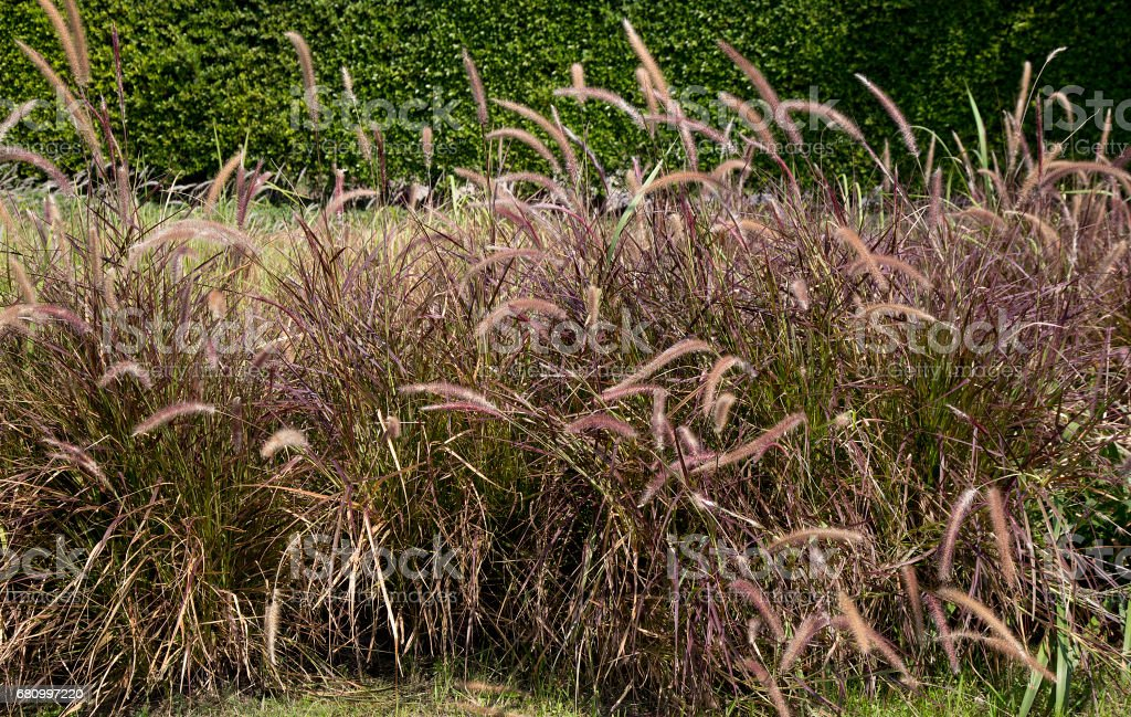 Grass Plant food for animal, grass flower are blowing by wind at rim of the road - countryside stock photo