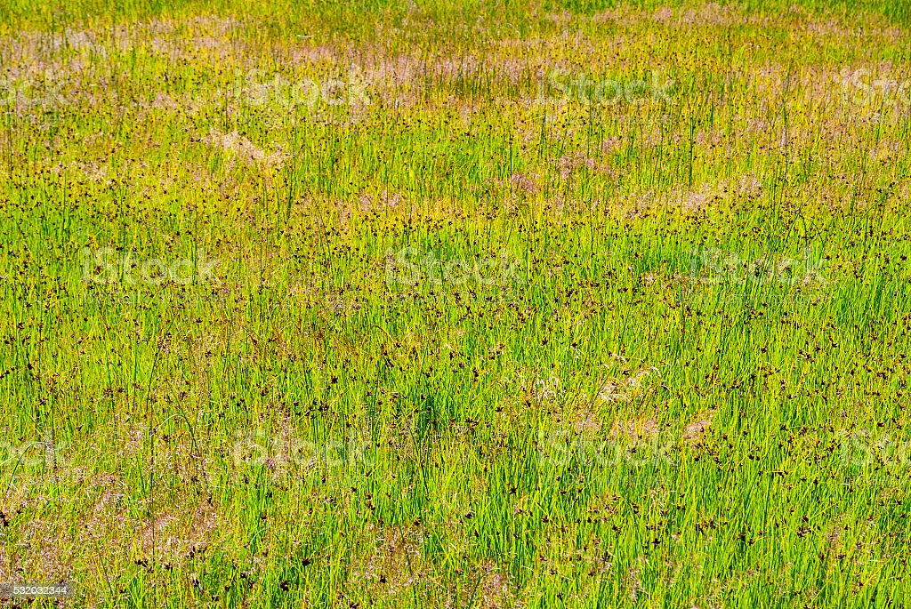 Grass reed background stock photo