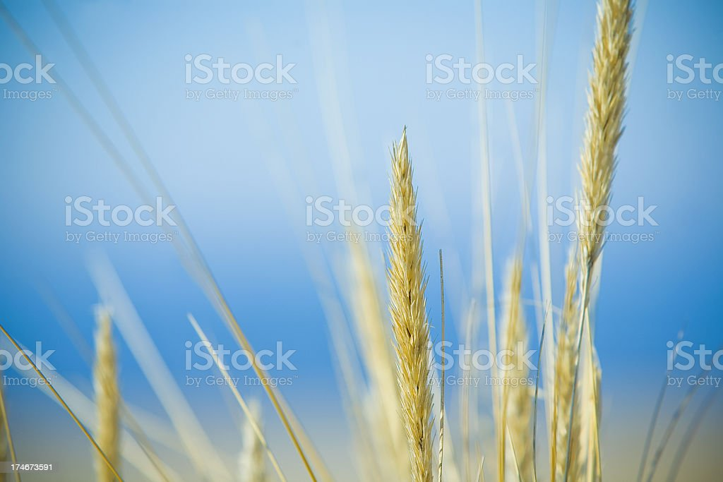 Grass reeds royalty-free stock photo