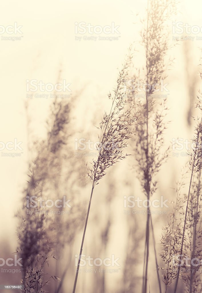 Grass Reeds stock photo