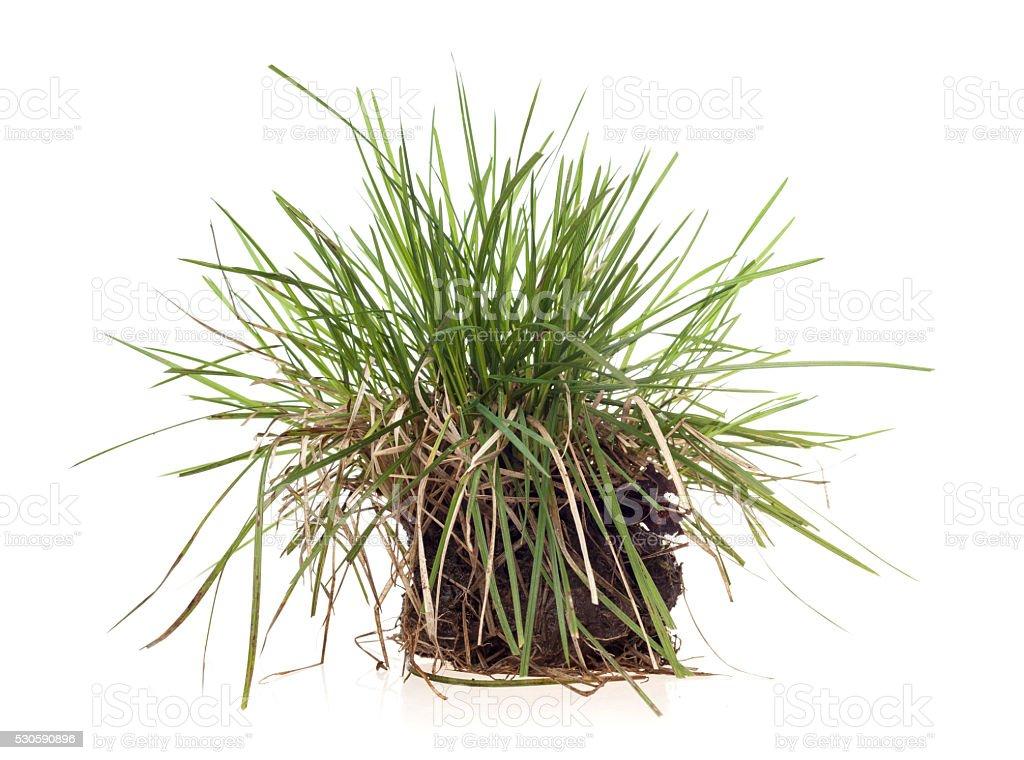 grass sedge isolated stock photo