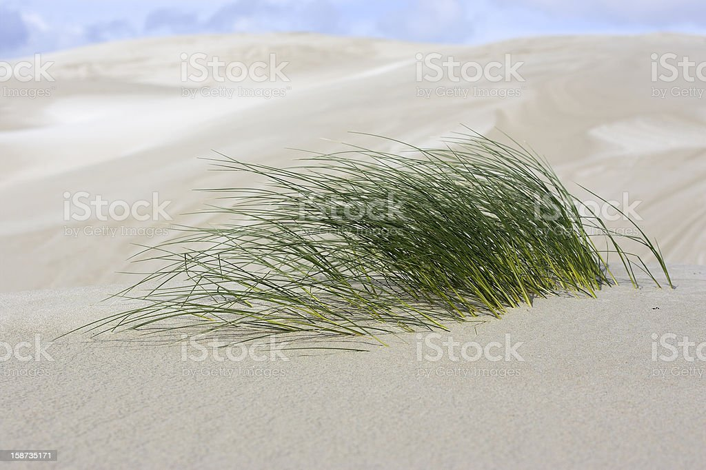 Grass Shoots in the Sand Dune stock photo