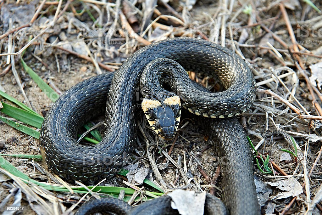 Grass snake close-up stock photo