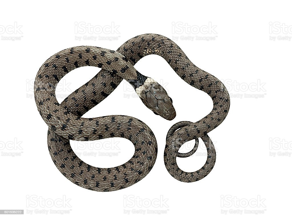 Grass snake - curled stock photo