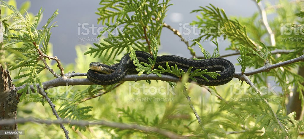 Grass snake in a tree stock photo