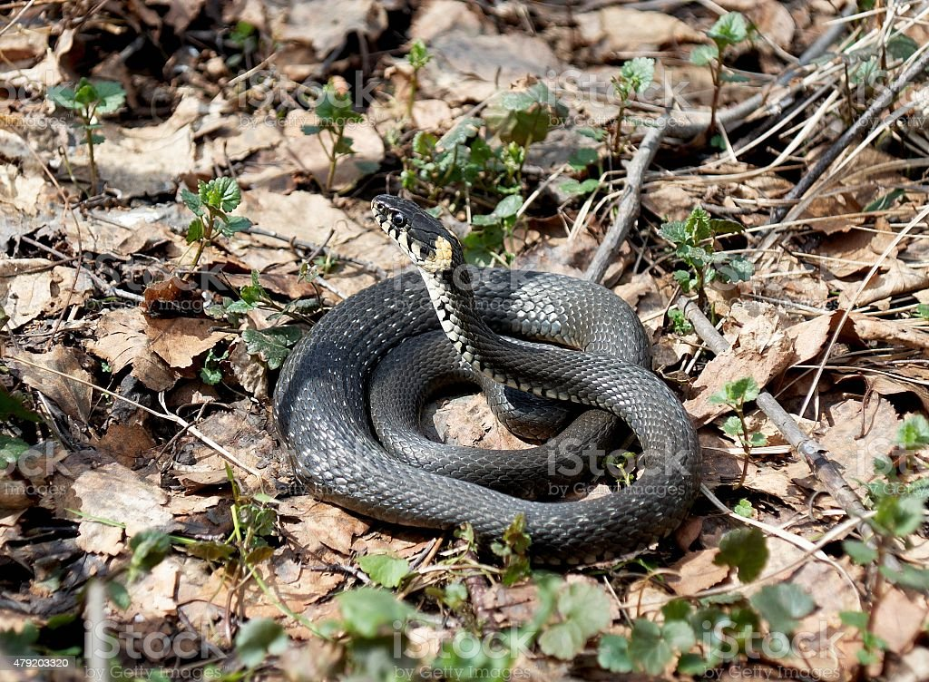 Grass Snake (Natrix natrix) in forest early spring stock photo
