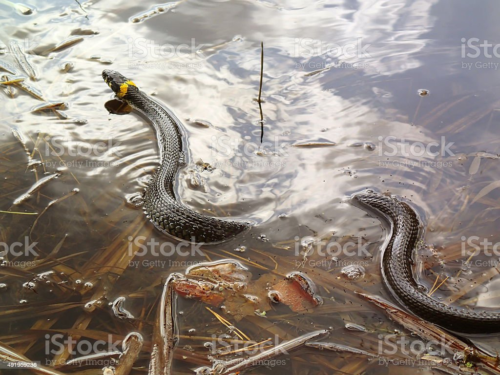 Grass snake in water, natrix stock photo