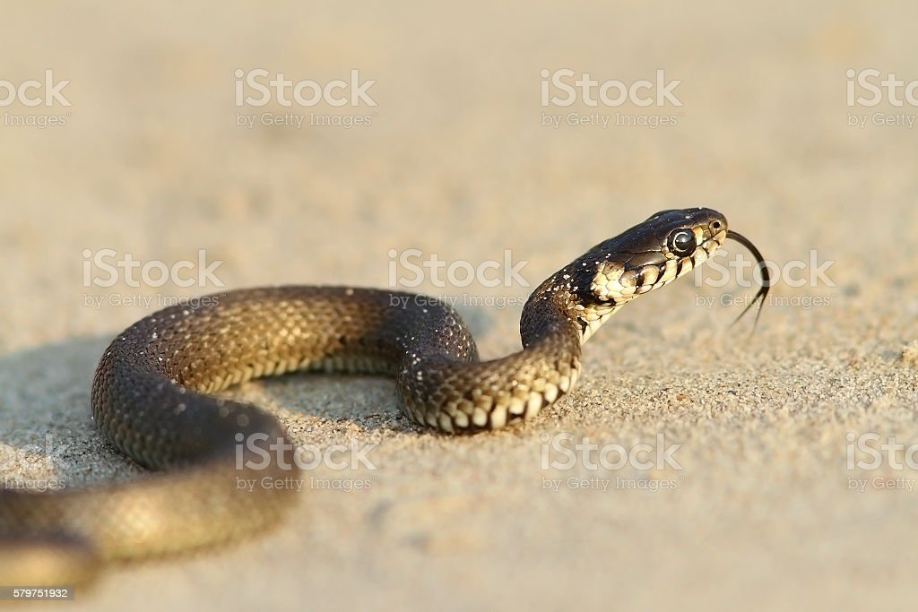 grass snake, juvenile on sand stock photo