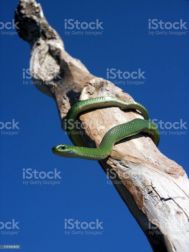 Grass Snake on a Stick stock photo