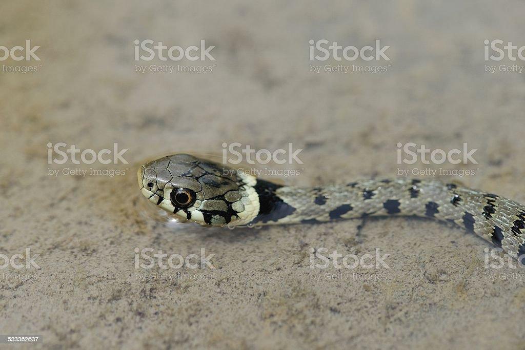 Grass Snake or Water Snake stock photo