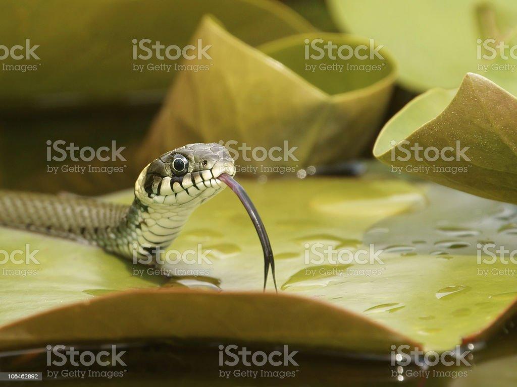 Grass snake royalty-free stock photo