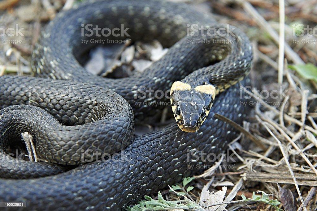 Grass snake stock photo