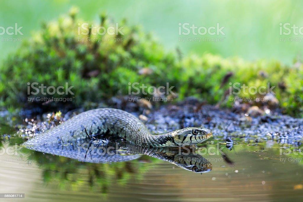 Grass snake (Natrix natrix) stock photo