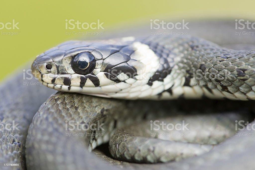 Grass Snake Portrait stock photo