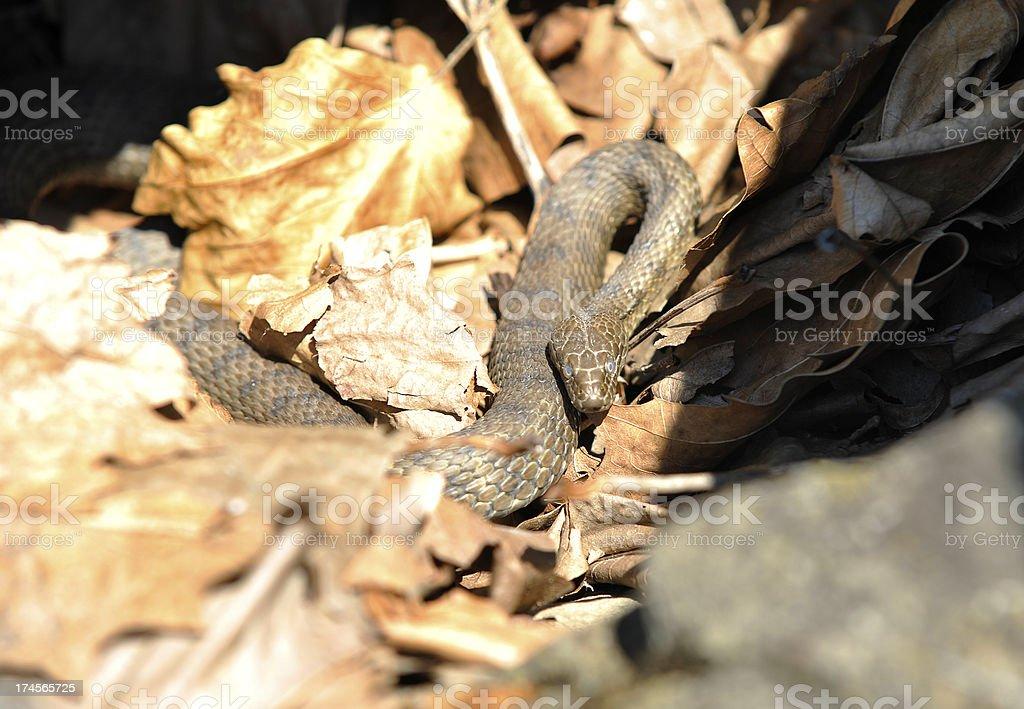 Grass Snake 'Tessell?e' stock photo