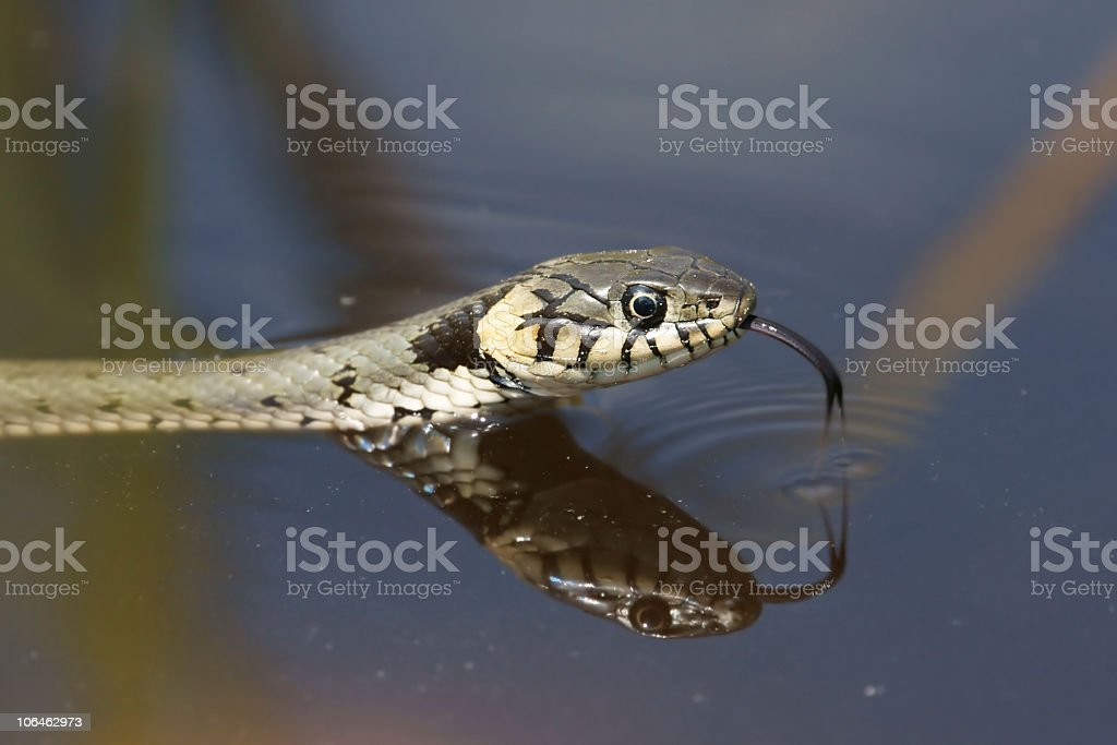 Grass snake while hunting stock photo