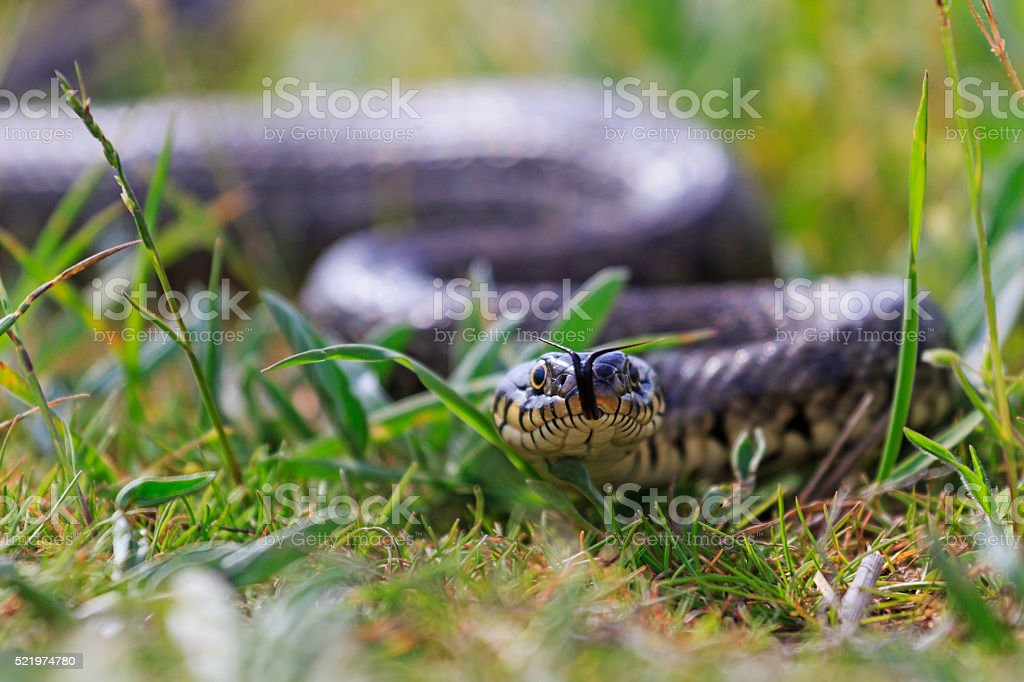 Grass snake with protruding tongue stock photo
