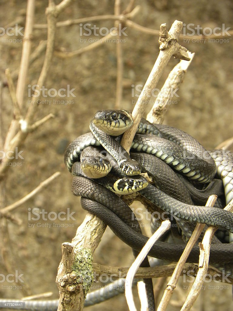 Grass Snakes royalty-free stock photo