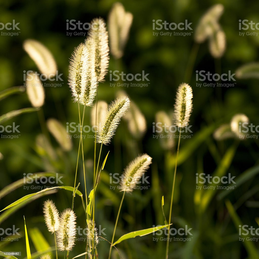 Grass sunshine royalty-free stock photo