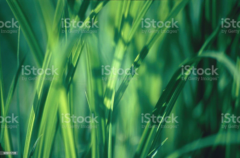 Grass  Texture. Close-up royalty-free stock photo