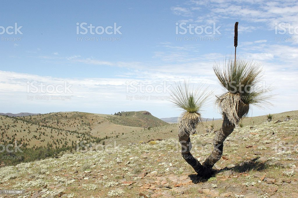Grass Tree - Flinders Ranges royalty-free stock photo