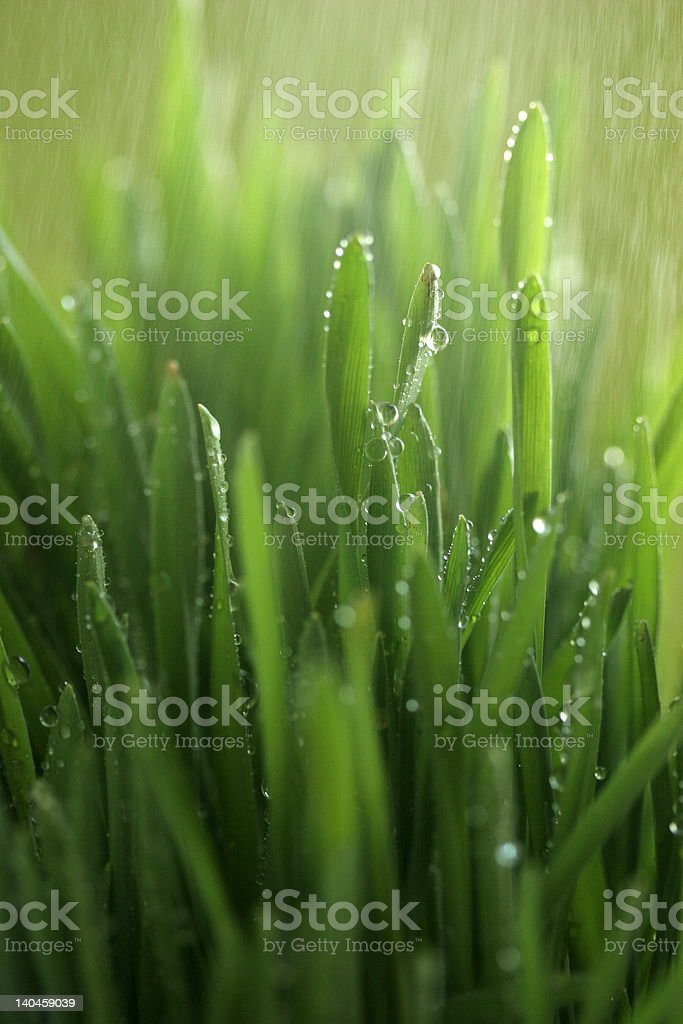 Grass under the rain royalty-free stock photo