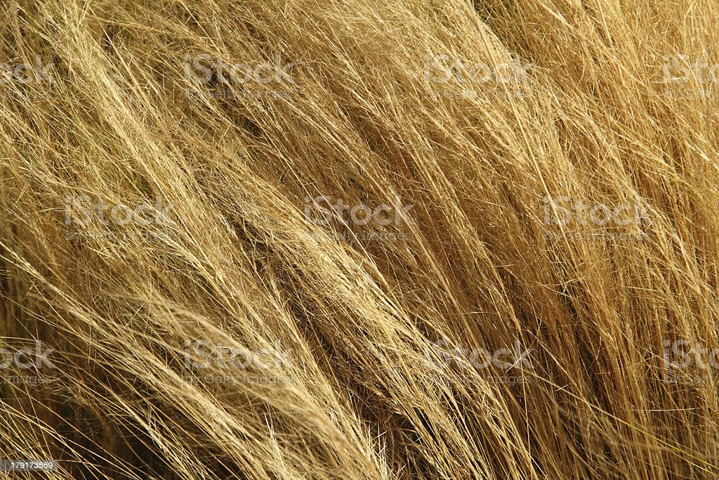 Grass Wheat Grain Close Up royalty-free stock photo