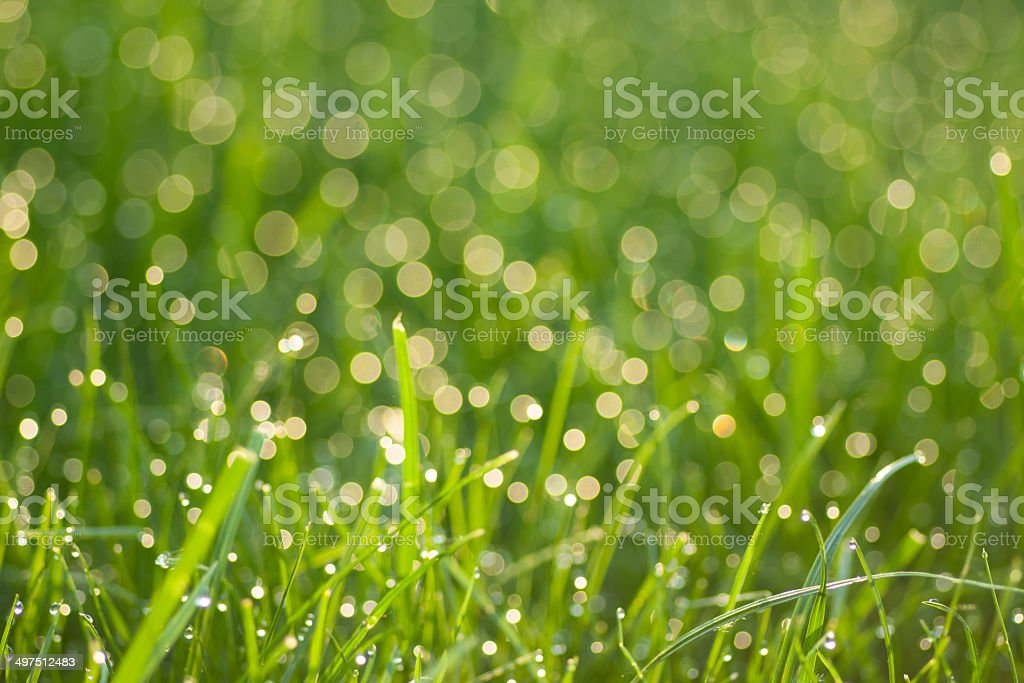 grass with dew drops royalty-free stock photo