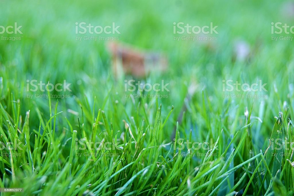Grass with Dew royalty-free stock photo