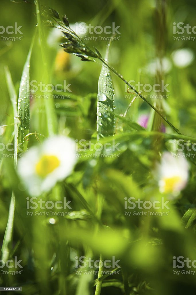 Grass with raindrops royalty-free stock photo