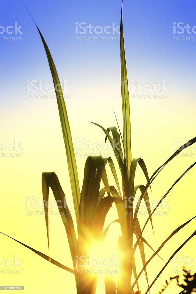 Grass with sunset royalty-free stock photo
