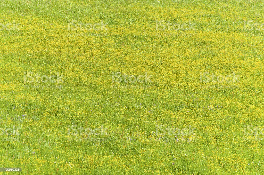 Grass with yellow flowers royalty-free stock photo