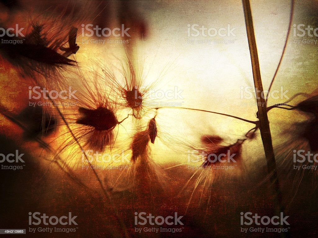 Grasses at Sunset royalty-free stock photo
