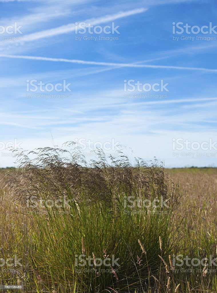 Grasses blowing in the wind royalty-free stock photo