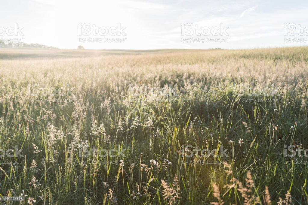Grasses Glow in morning Light stock photo