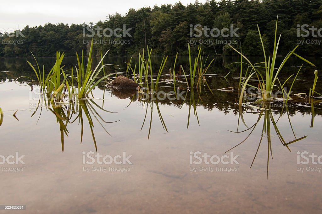 Grasses grow out of a lake stock photo