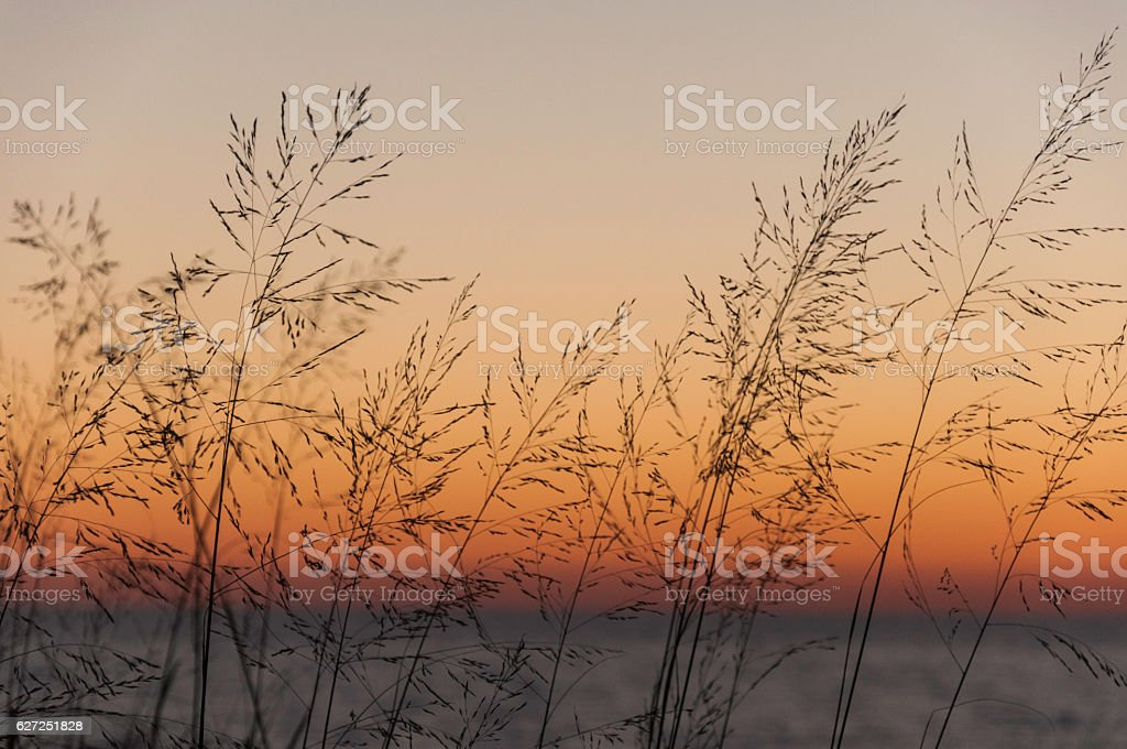 Grasses in Evening stock photo