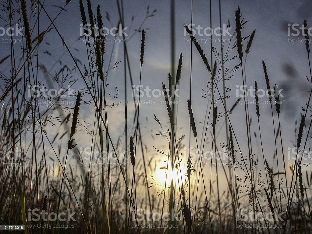 Grasses stock photo